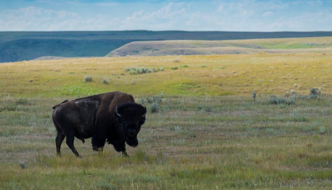 great-plains-bison