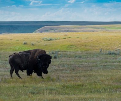 great-plains-bison
